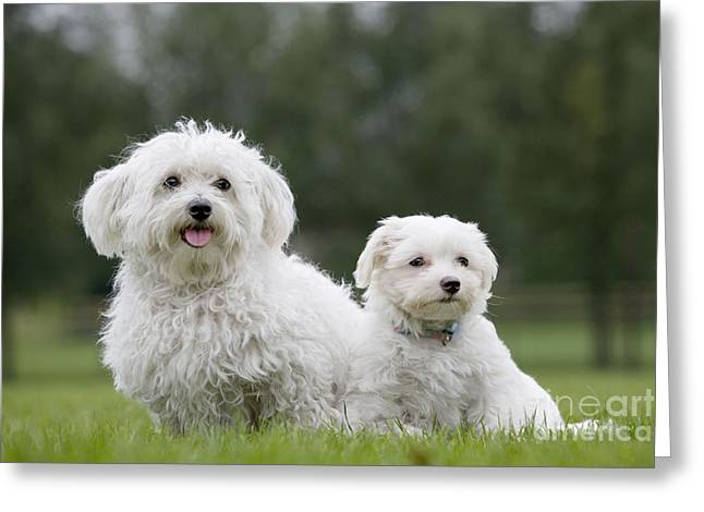 Maltese Greeting Cards - Maltese Dog With Puppy Greeting Card by Johan De Meester