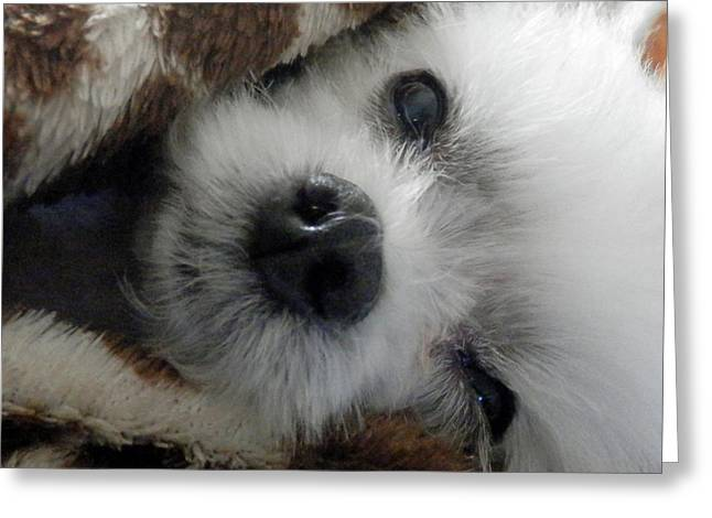 Toy Maltese Photographs Greeting Cards - Maltese In Blanket Greeting Card by Cynthia McCullough