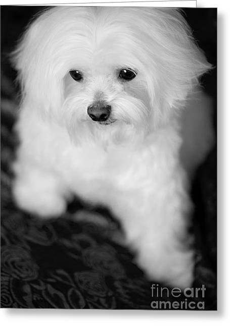 Leslie Leda Greeting Cards - Maltese Love Greeting Card by Leslie Leda