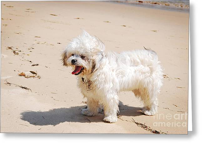 Toy Maltese Photographs Greeting Cards - Maltese Poodle at Beach Greeting Card by Christopher Edmunds