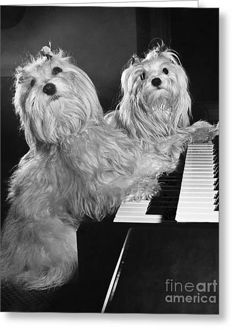 Maltese Pups Greeting Card by M. E. Browning
