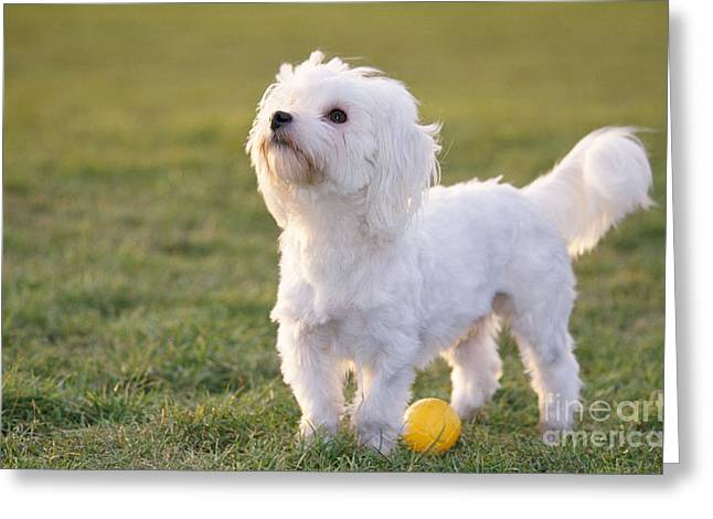 Maltese Greeting Cards - Maltese With Ball Greeting Card by Johan De Meester
