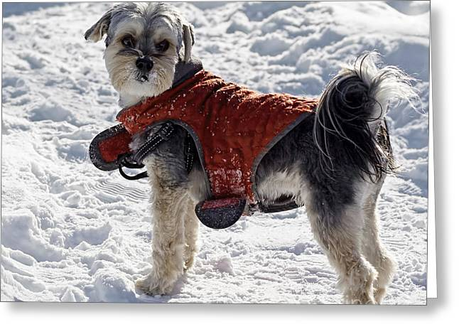 Dogs In Snow. Greeting Cards - Maltese Yorkie Out For A Winter Walk Greeting Card by Barbara McMahon