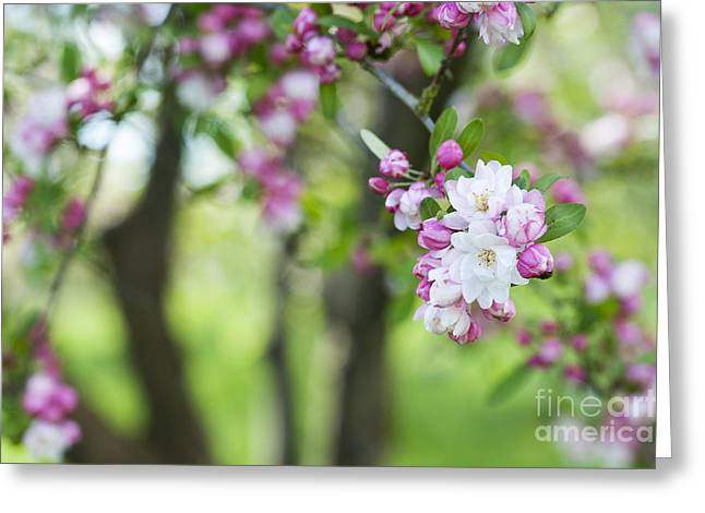 Snow Blossom Greeting Cards - Malus Snowcloud Blossom Greeting Card by Tim Gainey