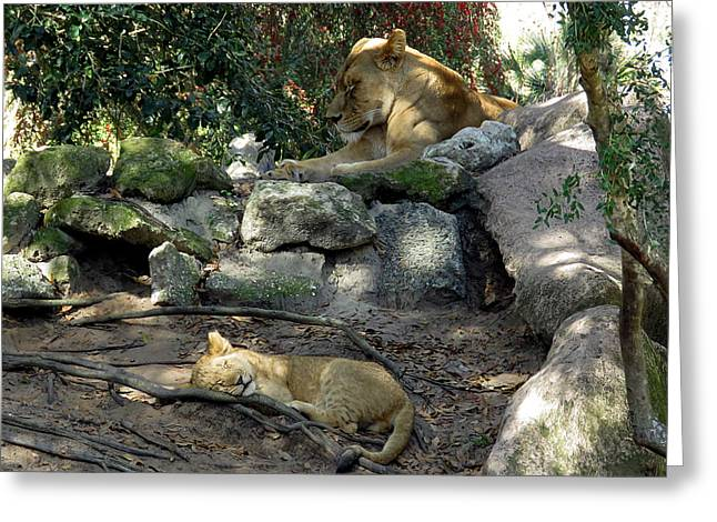 Jacksonville Greeting Cards - Mama And Cub Greeting Card by J M Farris Photography