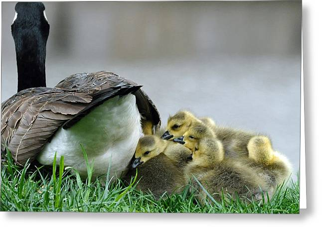 Animal Photographs Greeting Cards - Mama and Goslings Greeting Card by Lisa  Phillips