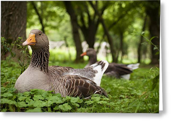 Duck Greeting Cards - Mama Goose Greeting Card by Indigo Schneider