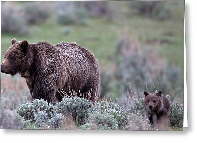 Natural Focal Point Photography Greeting Cards - Mama Grizzly Guiding Cub Greeting Card by Natural Focal Point Photography