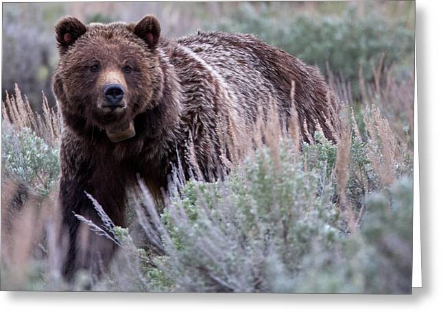 Natural Focal Point Photography Greeting Cards - Mama Grizzly Greeting Card by Natural Focal Point Photography