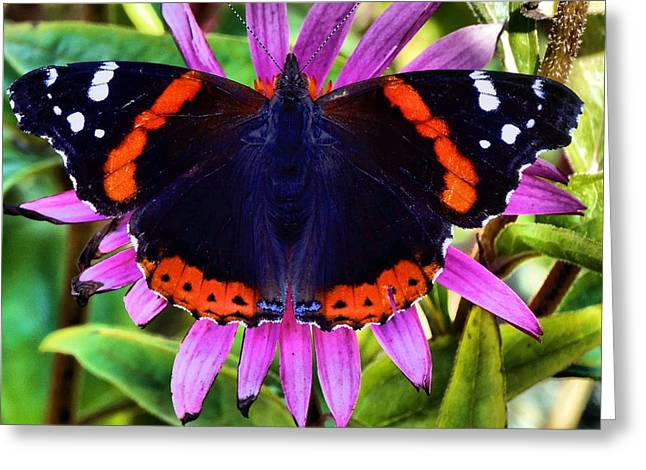 Floral Photographs Greeting Cards - Mammoth Butterfly Greeting Card by Dan Sproul