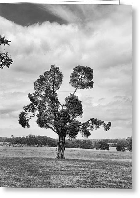 Battlefield Site Greeting Cards - Manassas Battlefield Tree Greeting Card by Guy Whiteley