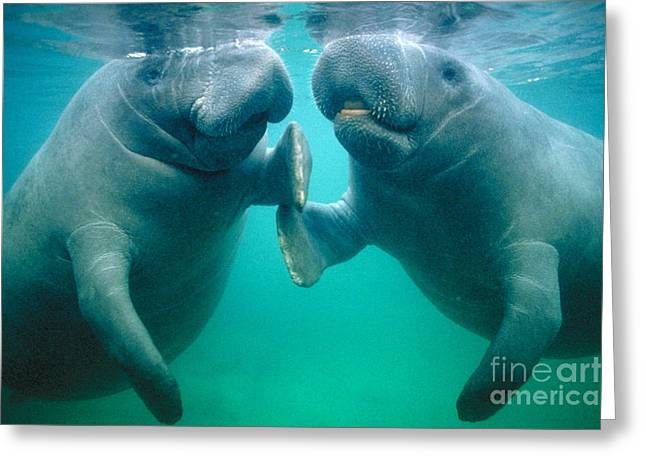 Underwater Breathing Greeting Cards - Manatee Pair Greeting Card by Douglas Faulkner