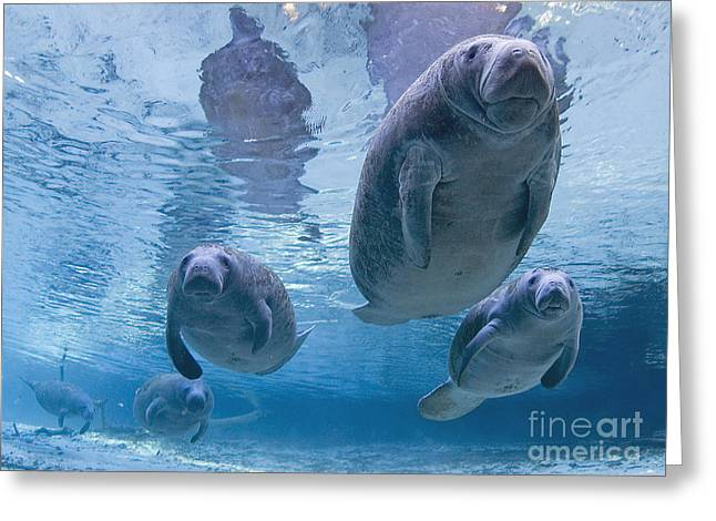 Green Turtle Greeting Cards - Manatee Parade by Todd Essick Greeting Card by Todd Essick