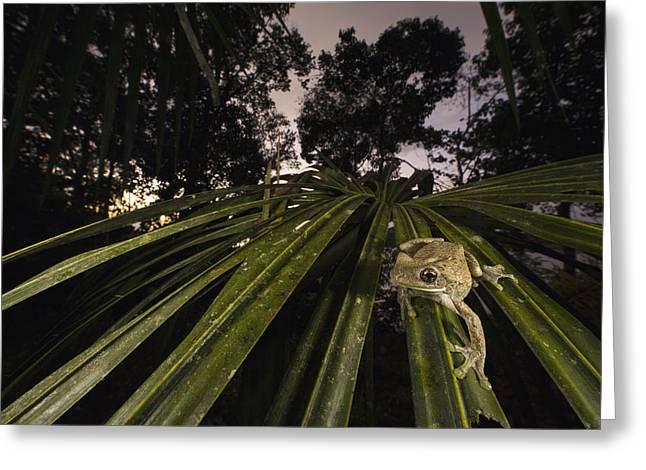 Manaus Slender-legged Treefrog Greeting Card by Cyril Ruoso