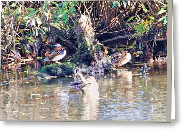 Mandarin Duck Greeting Card by Leif Sohlman