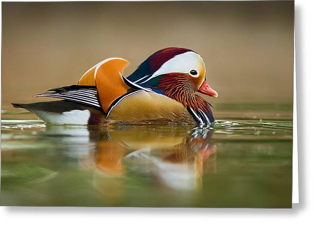 Most Greeting Cards - Mandarin Greeting Card by Yuri Peress