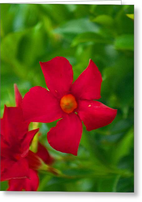 Weels Greeting Cards - Mandevilla 2 Greeting Card by Howard Tenke