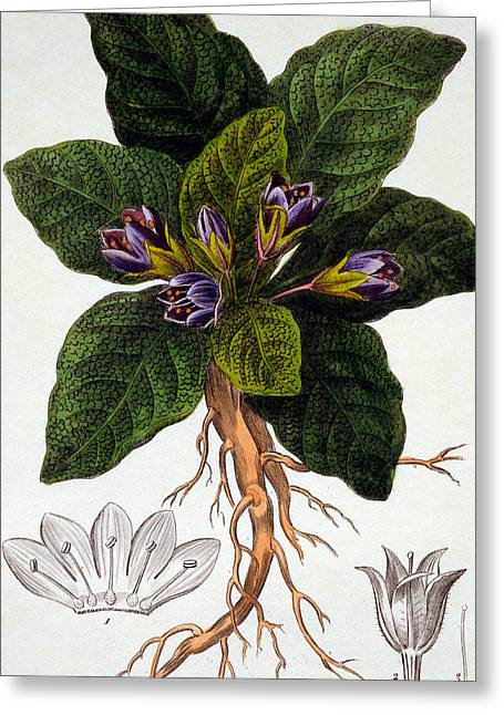 Labelled Greeting Cards - Mandragora officinarum Greeting Card by Pancrace Bessa