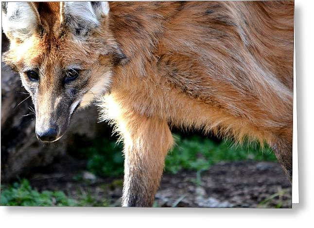 Hairy Wolf Greeting Cards - Maned Wolf Greeting Card by Deena Stoddard