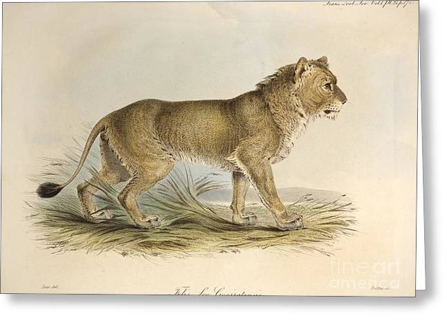 Lion Illustrations Greeting Cards - Maneless Indian Lion, 1835 Greeting Card by Paul D. Stewart