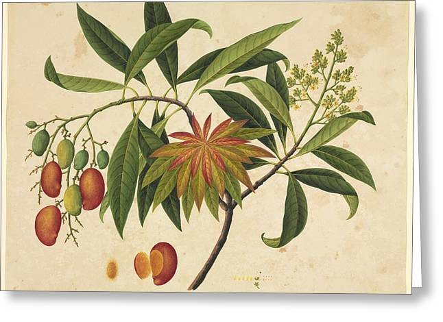 Mango Greeting Cards - Mangifera indica, 19th-century artwork Greeting Card by Science Photo Library