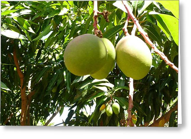 Mango Greeting Cards - Mango Tree Greeting Card by Allan Richter