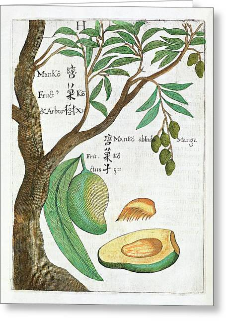 Mango Tree And Fruit Greeting Card by Natural History Museum, London