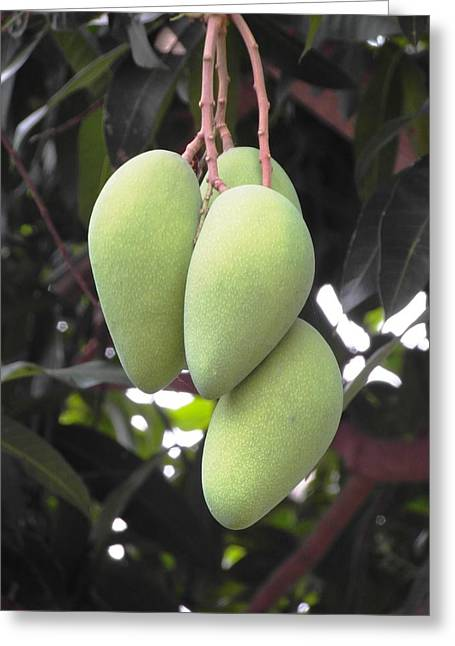 Mango Greeting Cards - Mangoes Growing on a Tree Greeting Card by Ian Scholan