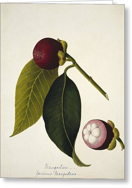 Mangosteen Greeting Cards - Mangosteen (Garcinia mangostana) Greeting Card by Science Photo Library