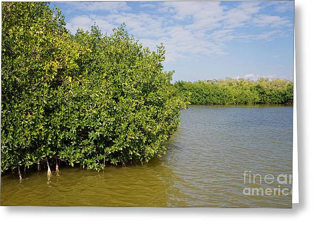 Mangrove Forest Greeting Cards - Mangrove Fores Greeting Card by Carol Ailles