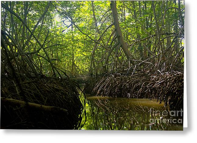 Mangrove Forest Greeting Cards - mangrove forest in Costa Rica 1 Greeting Card by Rudi Prott