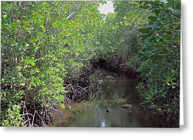 Mangrove Forest Greeting Cards - Mangrove Forest Greeting Card by Tony Murtagh