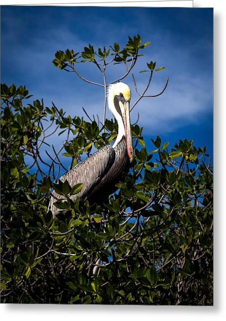Blue And Green Photographs Greeting Cards - Mangrove Pelican Greeting Card by Karen Wiles