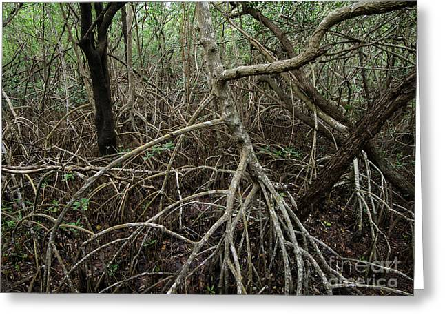 Mangrove Forest Greeting Cards - Mangrove Roots 2 Greeting Card by Tracy Knauer
