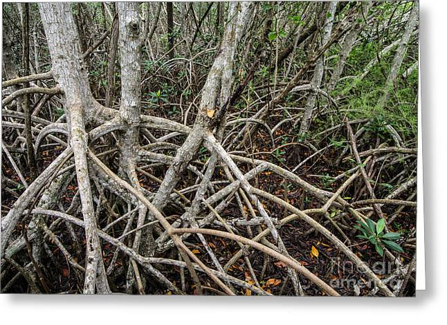 Mangrove Forest Greeting Cards - Mangrove Roots 3 Greeting Card by Tracy Knauer