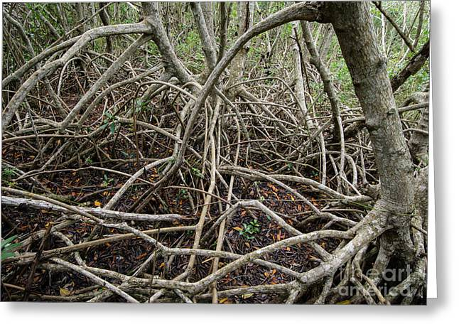 Mangrove Forest Greeting Cards - Mangrove Roots 6 Greeting Card by Tracy Knauer