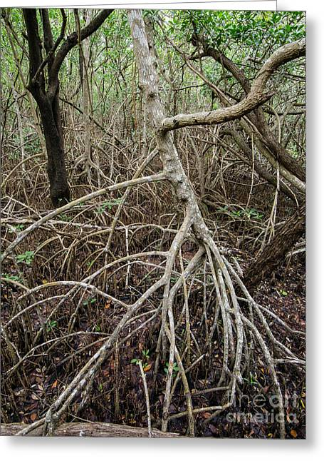Mangrove Forest Greeting Cards - Mangrove Roots 7 Greeting Card by Tracy Knauer