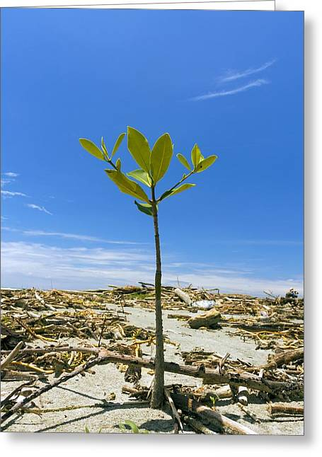 Mangrove Forest Greeting Cards - Mangrove seedling on a beach Greeting Card by Science Photo Library