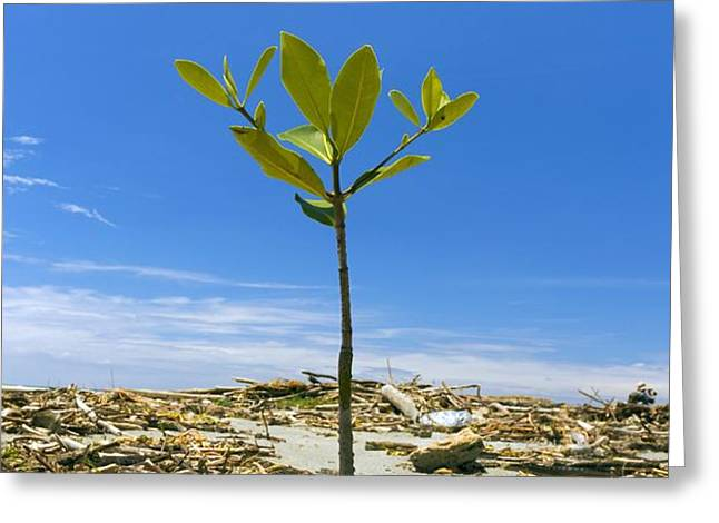 Mangrove seedling on a beach Greeting Card by Science Photo Library