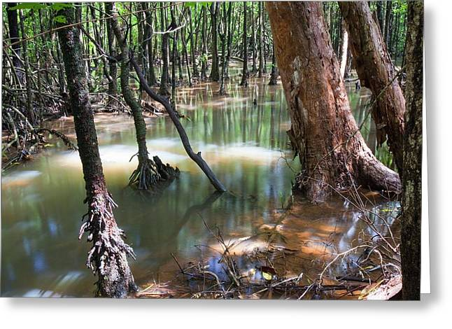 Mangrove Trees Greeting Card by Ashley Cooper