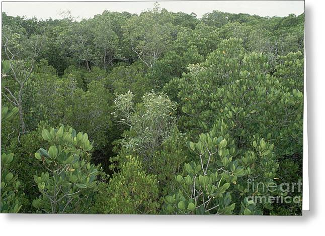 Mangrove Forest Greeting Cards - Mangrove Trees Greeting Card by Gregory G. Dimijian, M.D.