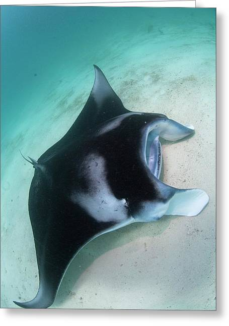 Manta Ray Resting On Sand Greeting Card by Scubazoo