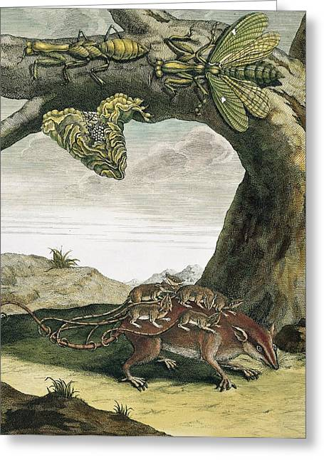 Mantid And Opossum, 18th Century Greeting Card by Science Photo Library