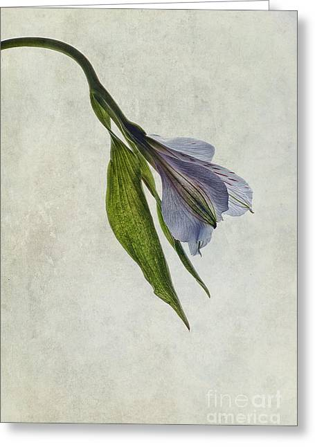 Alstroemeria Greeting Cards - Mantis Lily Greeting Card by John Edwards