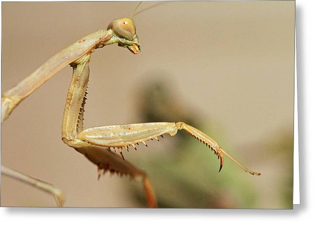 Macro Photography Pyrography Greeting Cards - Mantis On The Hunt Greeting Card by Shoal Hollingsworth