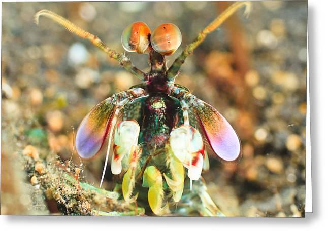 Sulawesi Greeting Cards - Mantis shrimp Greeting Card by MotHaiBaPhoto Prints