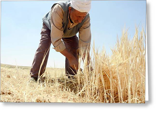 Manual Wheat Harvesting Greeting Card by Photostock-israel