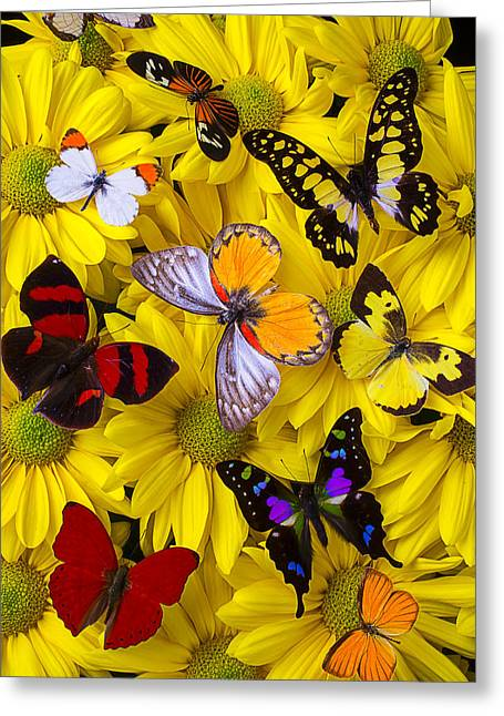 Seasonal Bloom Greeting Cards - Many Butterflies On Mums Greeting Card by Garry Gay