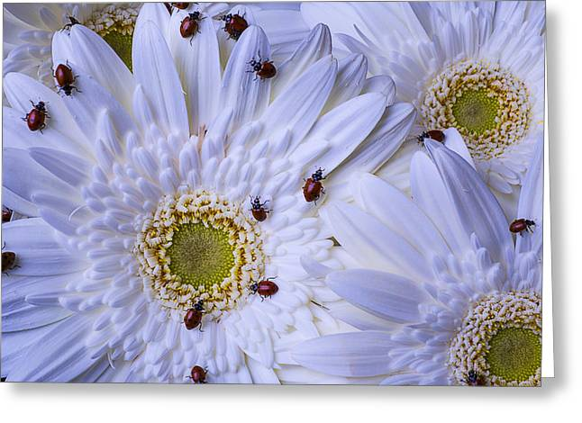 Many Photographs Greeting Cards - Many Ladybugs On White Daisy Greeting Card by Garry Gay