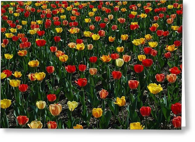 Many Tulips Greeting Card by Raymond Salani III